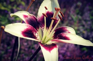 Purple white lily - jennifer w sign