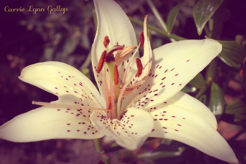 My Photography - White Lily