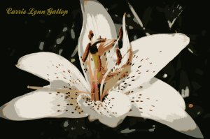 White lily with sign