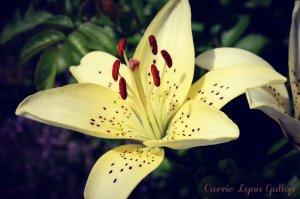 Yellow Lily - Jennifer w sign