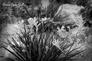 Pink stringy flowers - b & w w sign